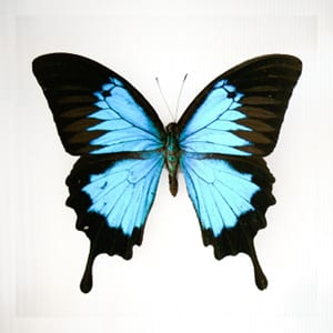 real framed butterfly displays | real butterfly art | Bug
