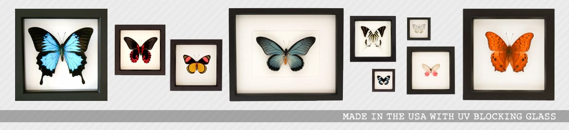 real framed butterfly displays | real butterfly art | Bug Under Glass