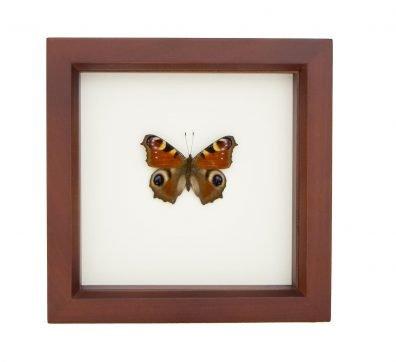 Framed European Peacock Butterfly (Aglais io )