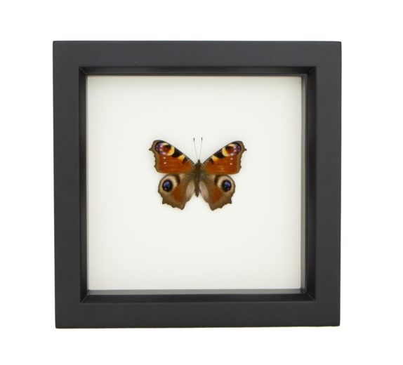 framed insect decor european peacock butterfly