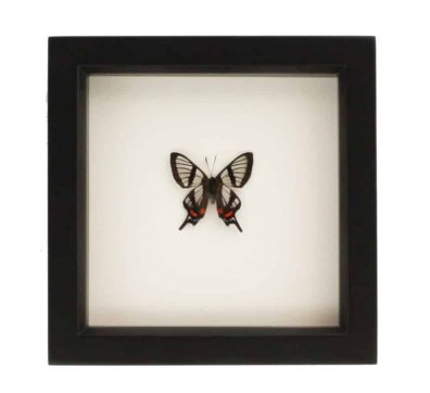 Framed Glasswing Swallowtail