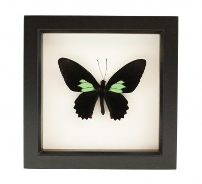 Framed Emerald Patch Cattleheart