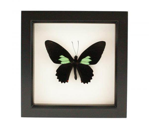 framed emerald cattleheart butterfly