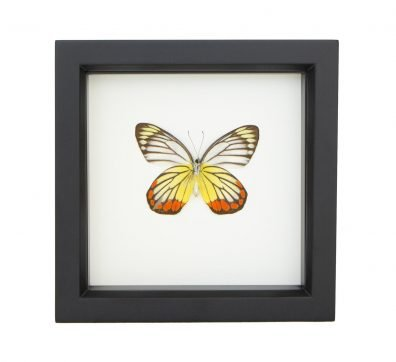 Framed Painted Jezebel Butterfly (Delias hyparete)