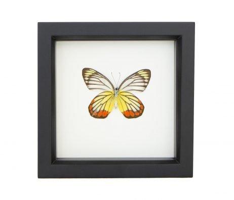 framed Delias hyparete