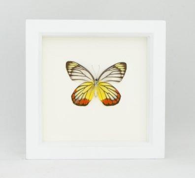 Framed Painted Jezebel Butterfly (Delias hyparete)