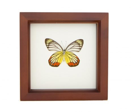framed painted jezebel butterfly