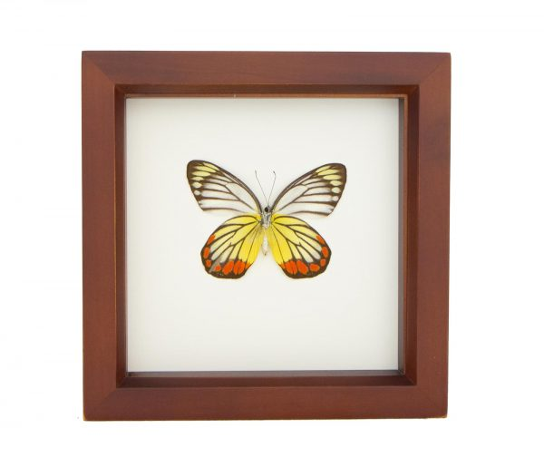 framed painted jezebel butterfly