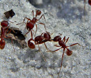 harvester-ants