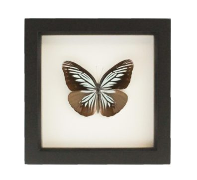 Framed Wanderer Butterfly (Pareronia tritaea)