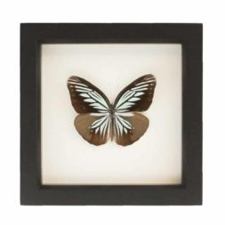 framed wanderer butterfly