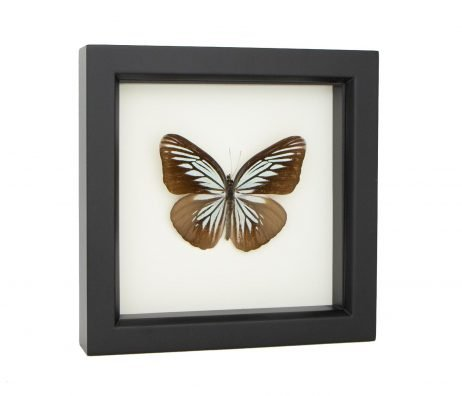 framed green wanderer butterfly