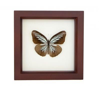 Framed Wanderer Butterfly (Pareronia tritaea)