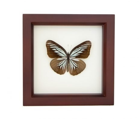 framed wanderer butterfly shadowbox