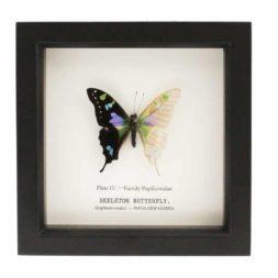 preserved specimen butterfly