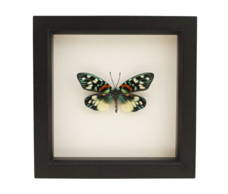 real moth display