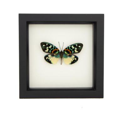 Framed Erasmia Moth (Erasmia Pulchera)