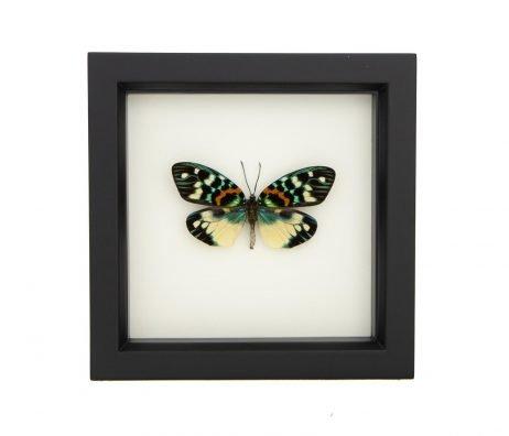 framed Erasmia Pulchera