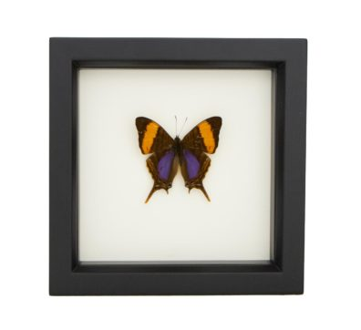 Framed Daggerwing Butterfly (Marpesia corinna)