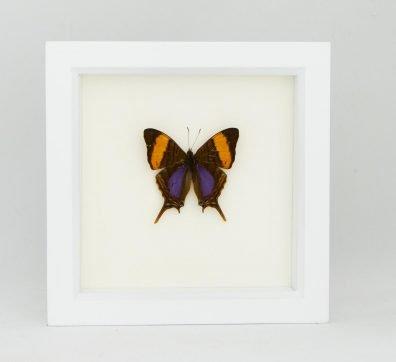 Framed Daggerwing Butterfly (Marpesia corinna)