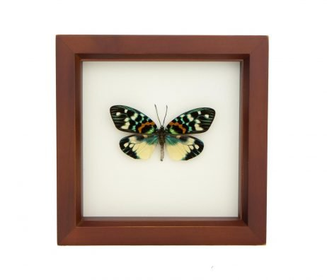 framed colorful moth