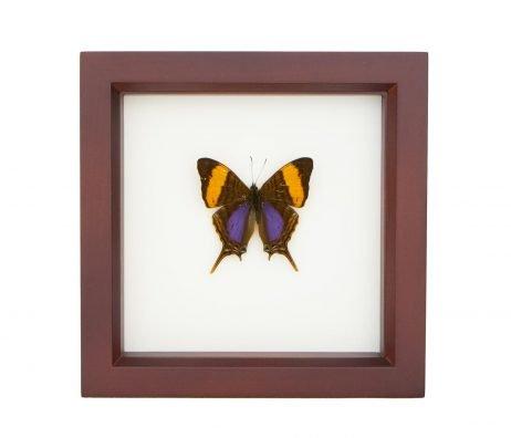 framed daggerwing butterfly