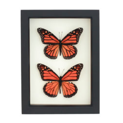 framed monarch collection