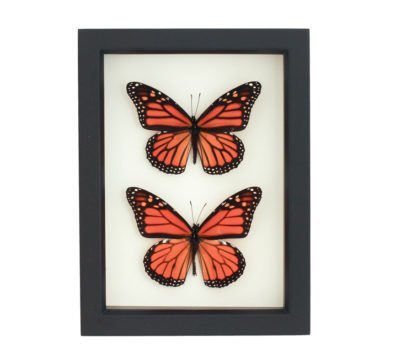 Framed Monarch Collection Male/Female