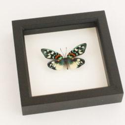 real moth framed