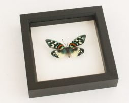 real moth framed