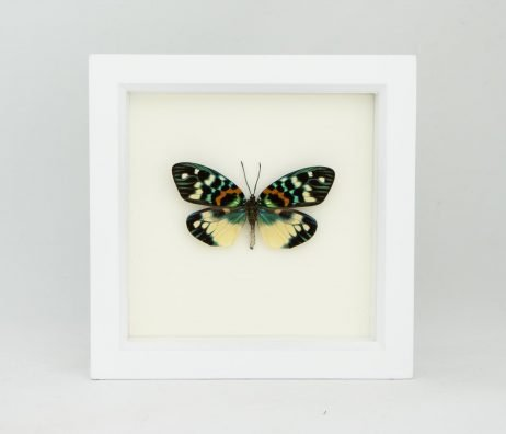 moth in white frame
