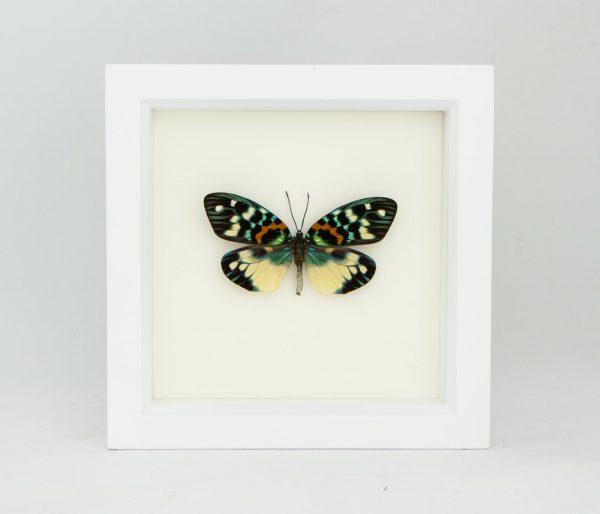 moth in white frame