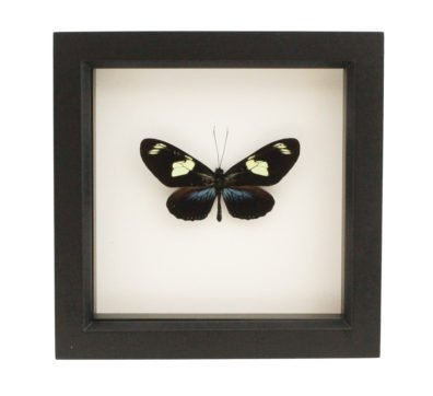 Framed Doris Longwing Butterfly