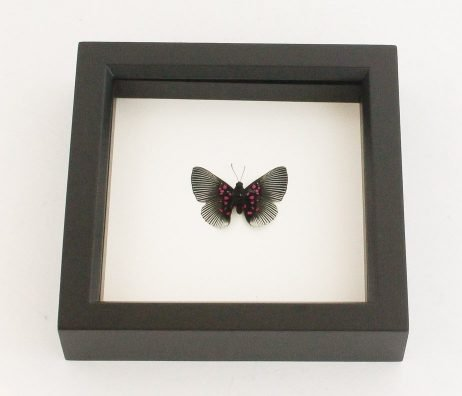 butterfly for sale