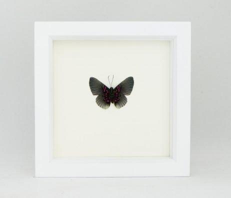 apollo metalmark butterfly