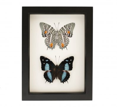 Framed Narrow Lined Pair Butterfly