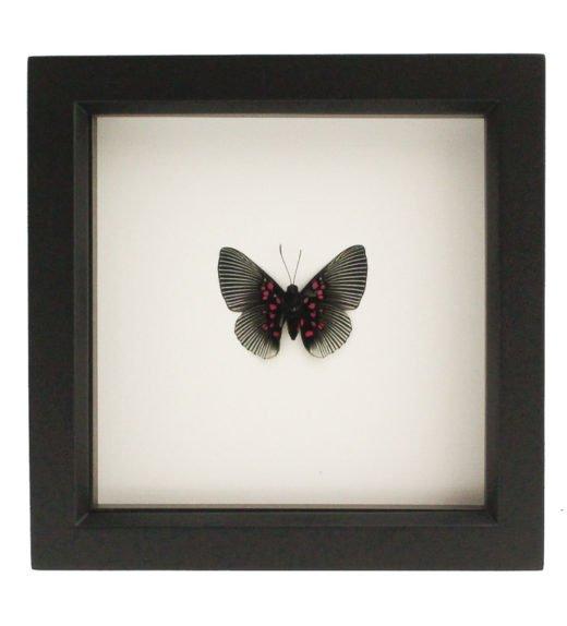 butterfly-taxidermy-art