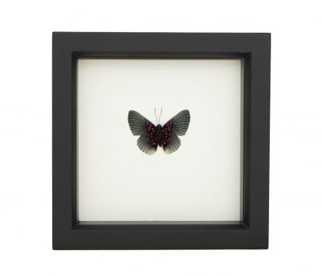 framed Lyropteryx appollonia