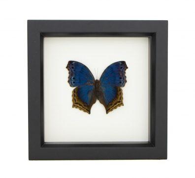 Framed Blue Mother of Pearl (Salamis temora)