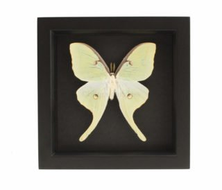 framed luna moth