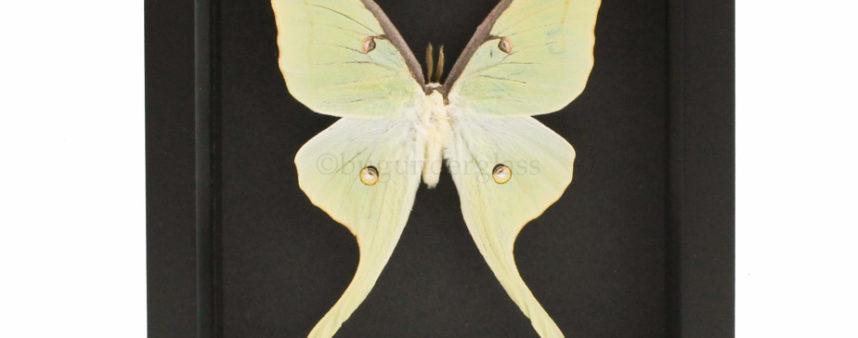 framed luna moth