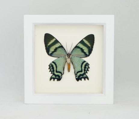 alcides moth wall decor