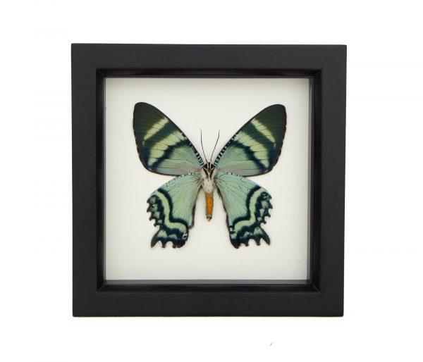 framed-Alcides orontes underside