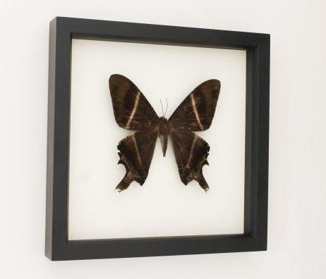 framed lyssa zampa