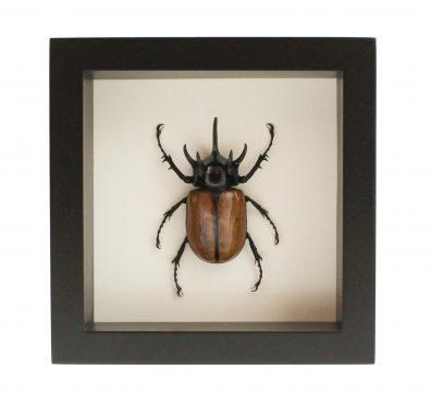 Framed Rhino Beetle (Eupatorus gracilicornis)