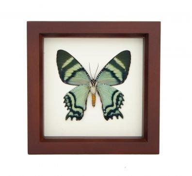 Framed Alcides Day Moth Underside (ALCIDES ORONTES)