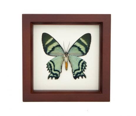 framed tropical moth