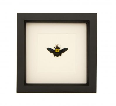 Framed Yellow Carpenter Bee (Xylocopa confusa)