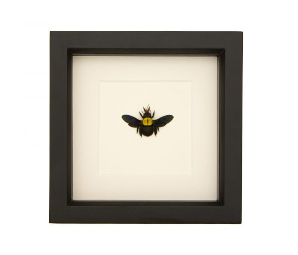 framed Xylocopa confusa