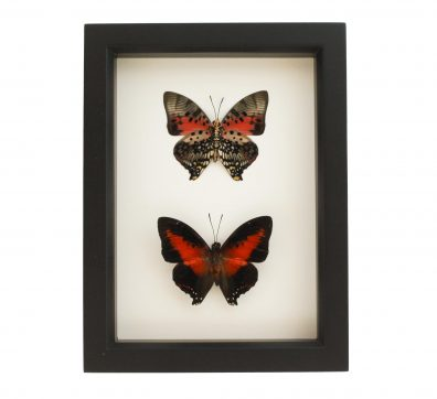Framed Shining Red Charaxes Collection